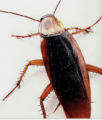 Blatella Germanica - Cucarachas:
